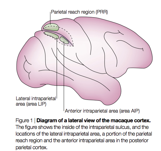 Blog Post The Parietal Lobe In Action Richard Andersen Caltech